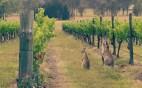 Kangaroo-in-Vineyard