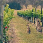 Australian Wines – What Makes Them Unique