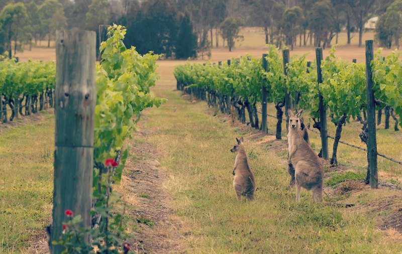 Kangaroo-in-Vineyard