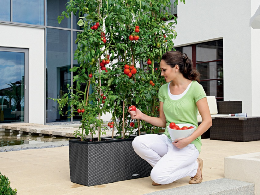 Vegetables in Self Watering Pots