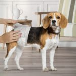 Dog Diapers: How to Choose and Use Them Properly