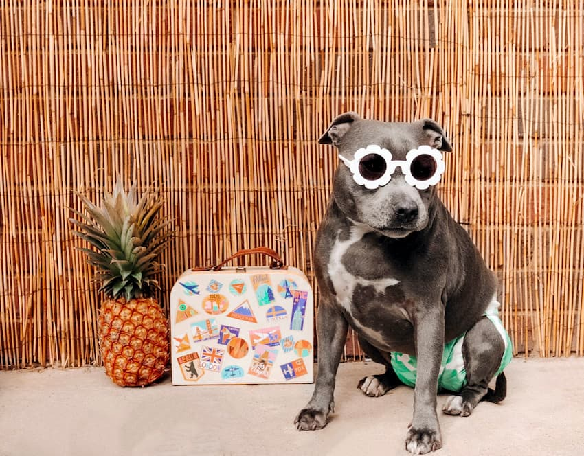 dog with green and white diaper and sunglasses on his face posing