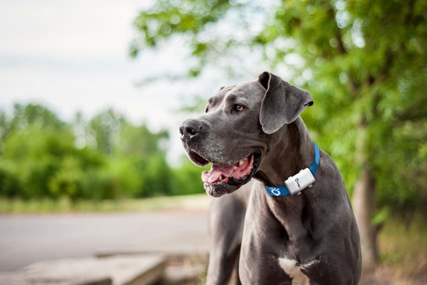 dog with blue tracking collar outdoor